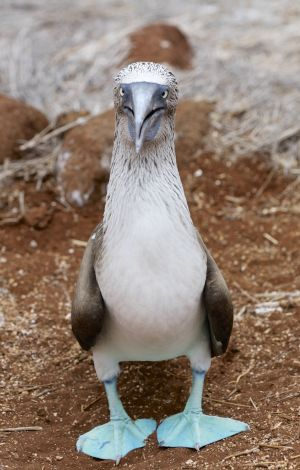 Cross Eyed Blue Footed Booby