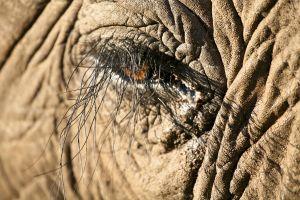 Wisdom - Elephant Eye