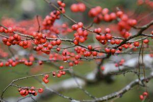 redberrysrain.jpg