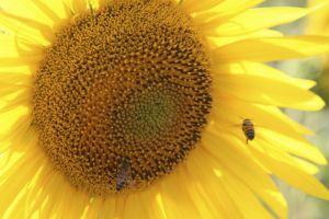 sunflower2bees.jpg